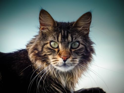 maine coon cat cat eyes