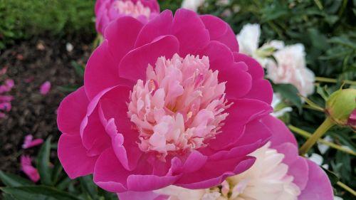 Maine Flower