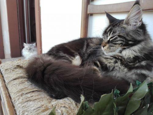 pagrindinė dalis,katė,katės,kačiukai,šuniukas,šuniukai,tabby,kačių veislės,gyvūnai,augintiniai