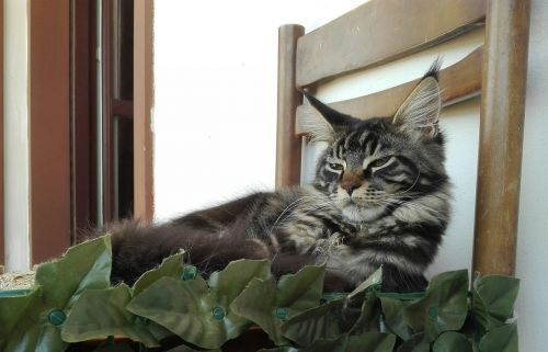 pagrindinė dalis,miegančios katės,katė,kačiukas,kačiukai,gyvūnai,augintiniai,grynaveisliai katinai,veislė maine coon