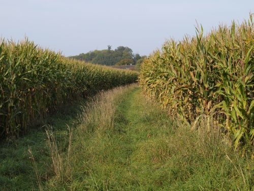 Corn Field With Working Path
