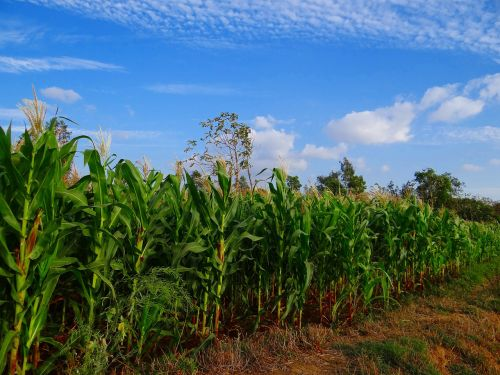 maize crop corn