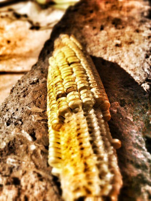 maize corn dry