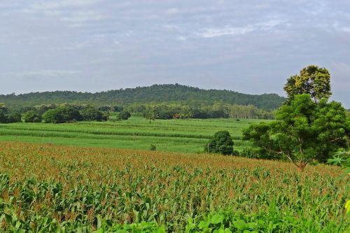 maize field hills landscape