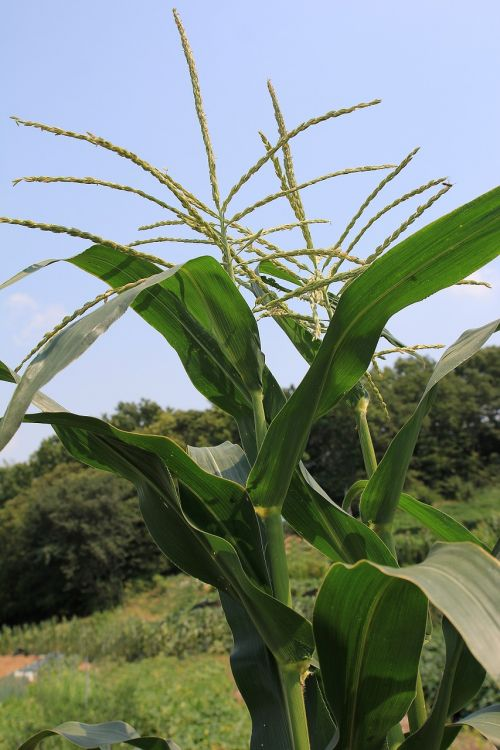 maize tassels tassel male flower