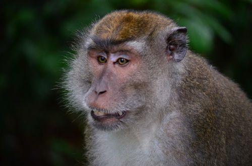 makake macaque monkey