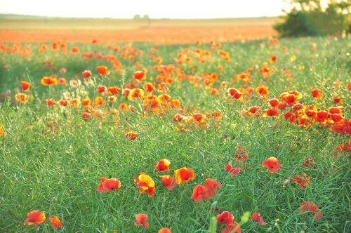 maki field flowers