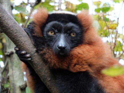 maki monkey madagascar