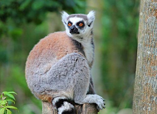 maki lemure primate