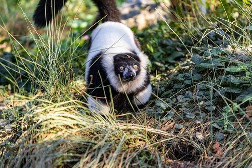 maki  monkey  animal