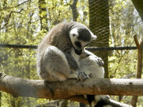 maki zoo monkey