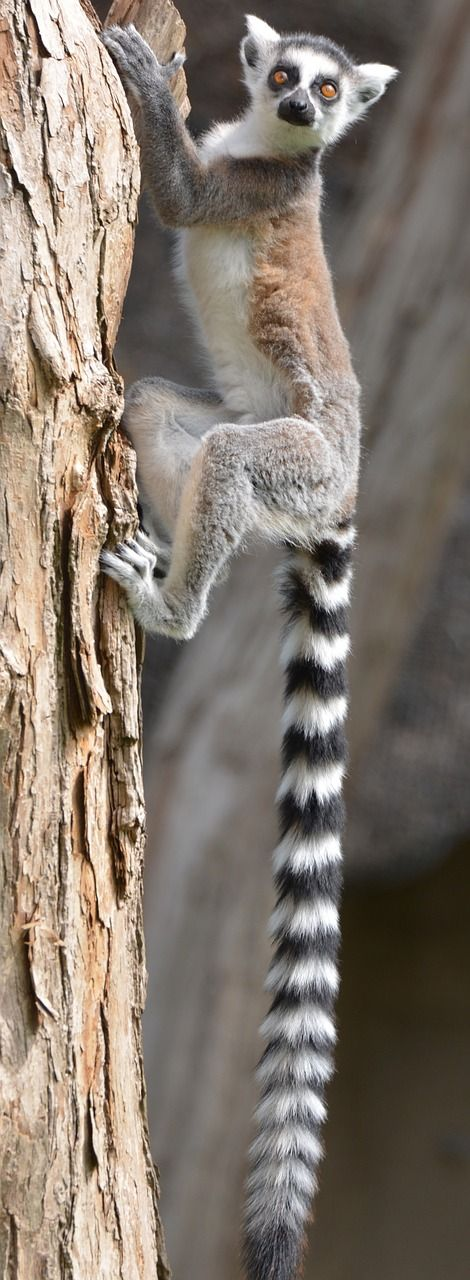 maki lemur monkey
