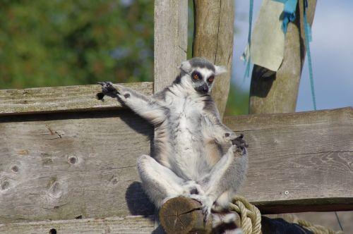 maki catta lemur zoo