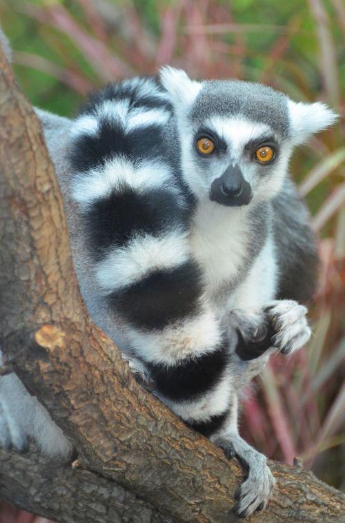 maki catta lemur madagascar