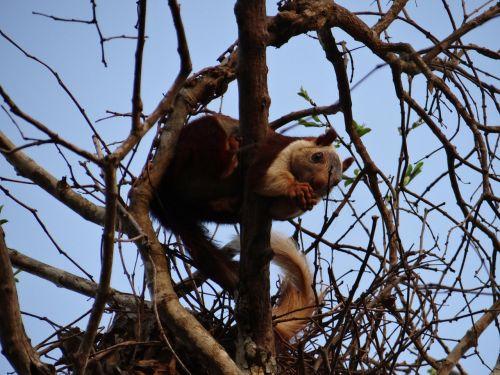 malabar giant squirrel dandeli wildlife