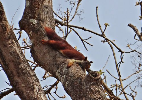 malabar giant squirrel ratufa indica indian giant squirrel