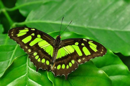 malachite butterfly siproeta