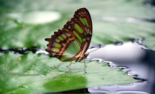 malachite spirotea steles butterfly wings