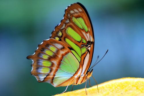malachite spirotea steles butterfly