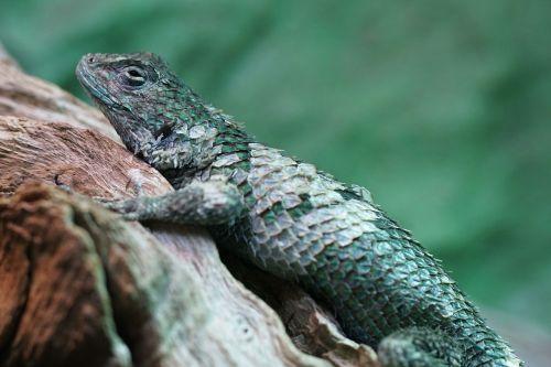 malachite barbed iguana iguana scale