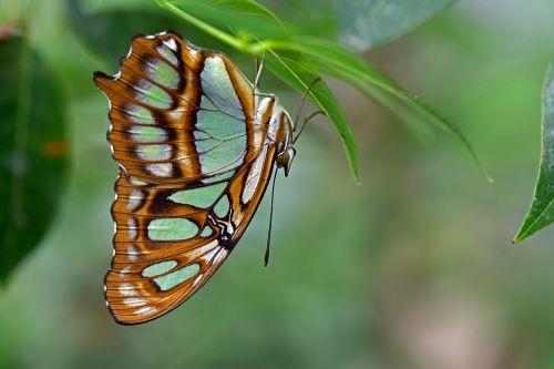 malachite butterfly butterflies edelfalter