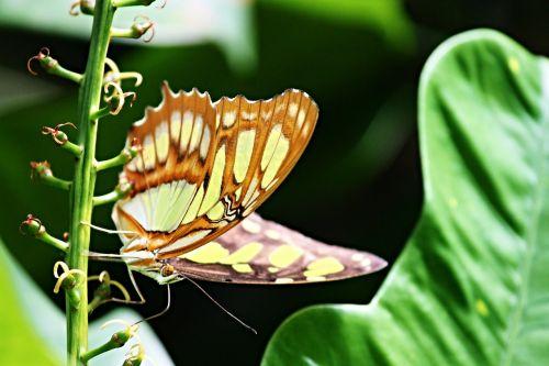 malachite butterfly siproeta stelenes butterfly