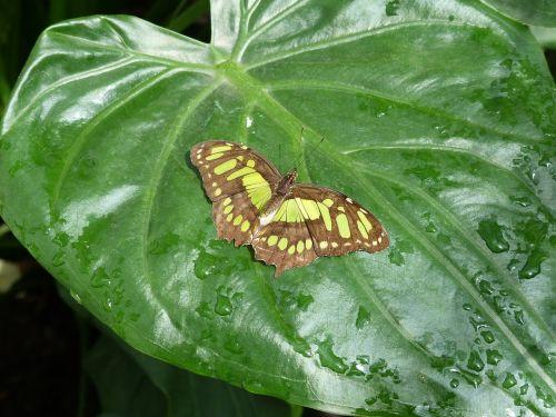 malachite butterfly butterfly leaf