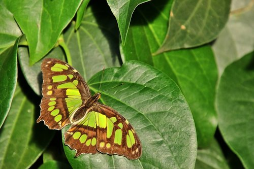 malachite butterfly  butterfly  insect
