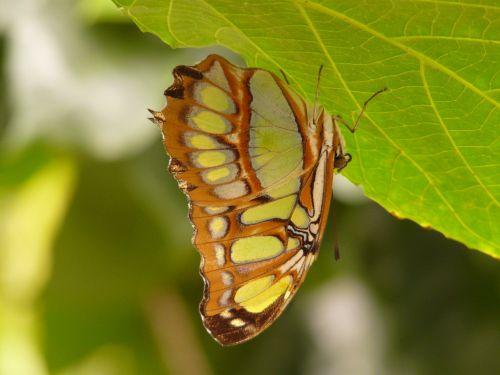 malachite butterfly butterfly siproeta stelenes