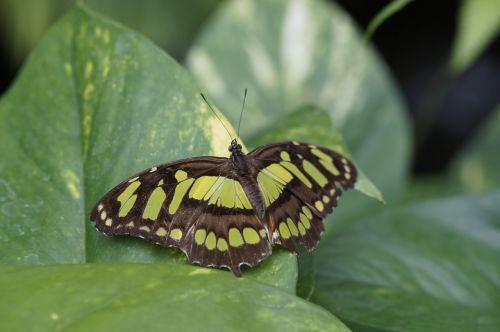 malachite butterfly wing spread