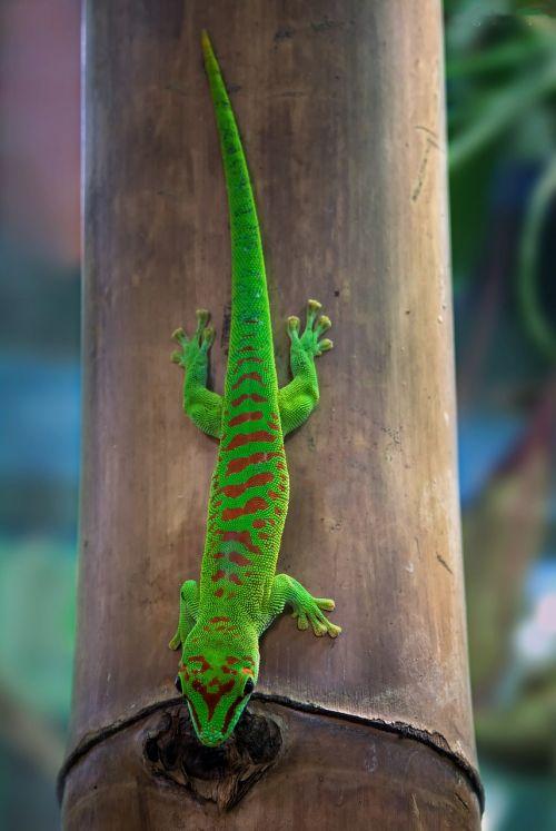 malagasy taggecko gecko day gecko