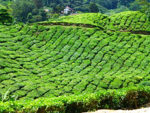 malaysia tea cameron