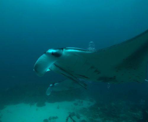 maldives manta rays diving