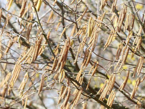 male blütenkätzchen flowers blossom kitten
