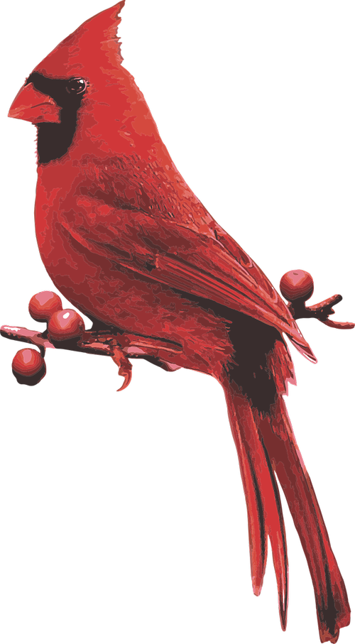 male cardinal  red bird  cardinal with berries