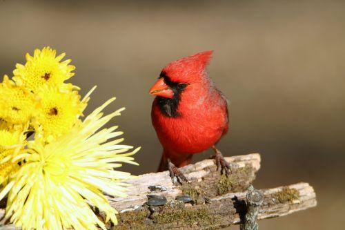 Male Cardinal And Yellow Mums
