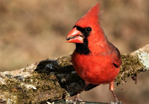 Male Cardinal Close-up
