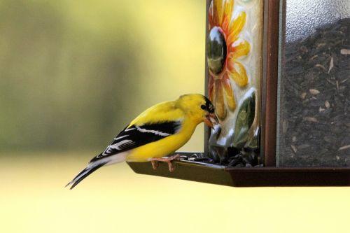 Male Goldfinch On Birdfeeder
