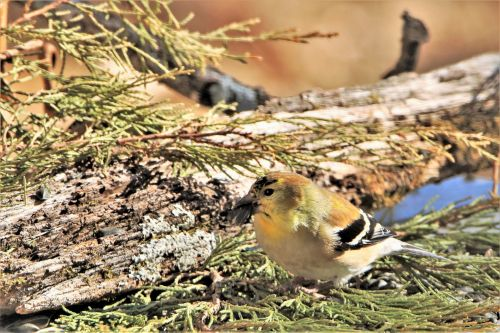 Male Goldfinch On Cedar Branches