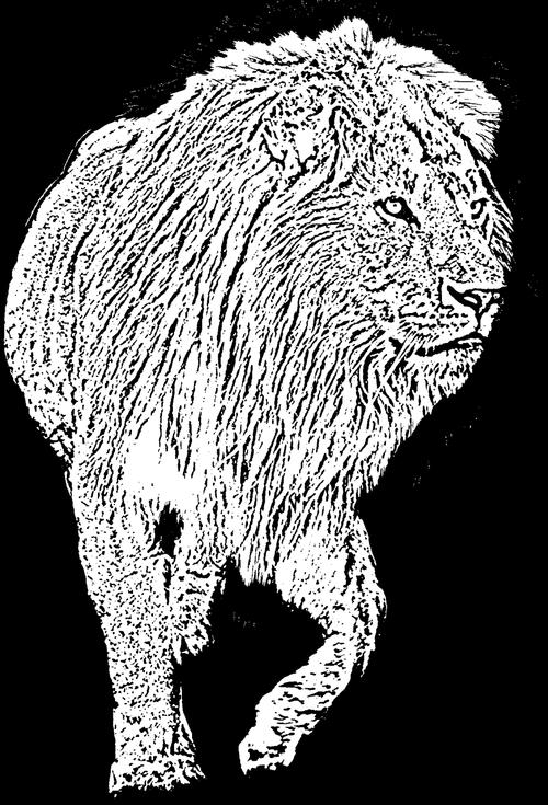 male lion  walking lion  lion