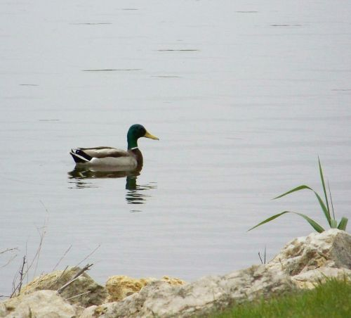 Male Mallard Duck Swimming