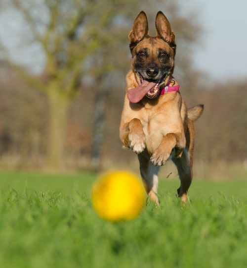 malinois shepherd dogs ball hunting