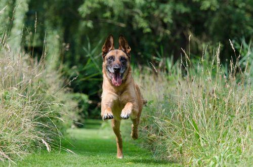 malinois retrieve dog training