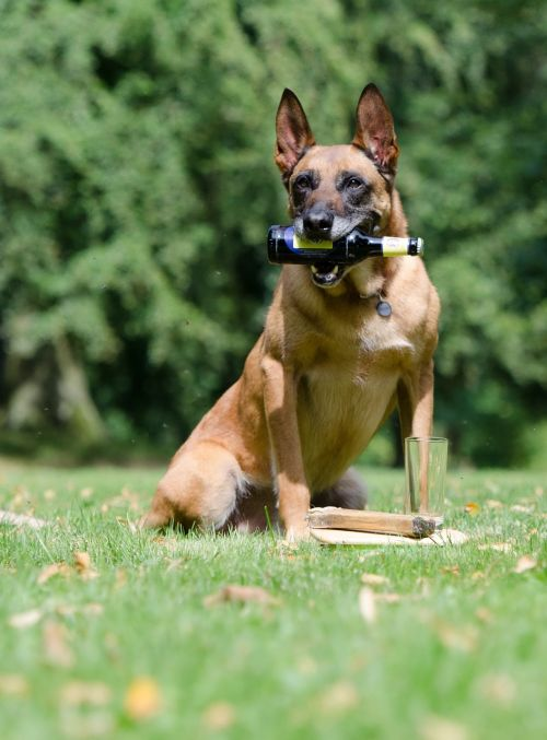 malinois dog show trick trick