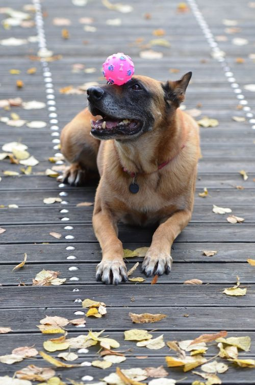 malinois dog with ball sweet