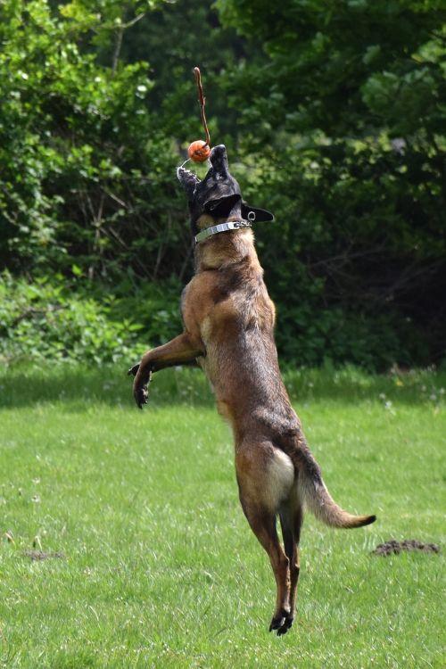 malinois dog jump