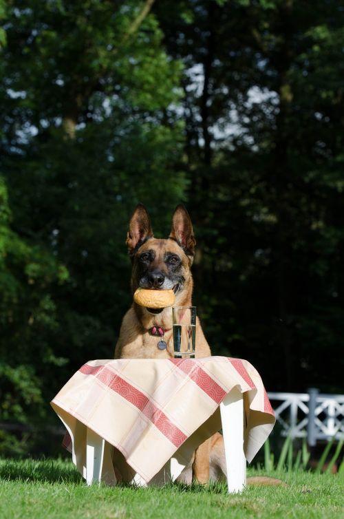 malinois belgian shepherd dog picnic