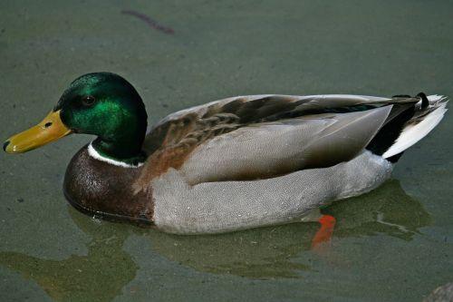 meletas,antis,vandens paukštis,drake,gamta,ančių paukštis,paukštis,plaukti,vyrai,vanduo