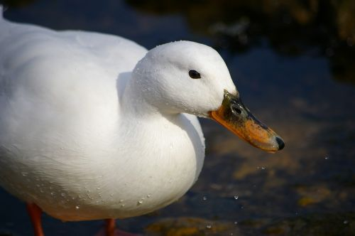 mallard bird white