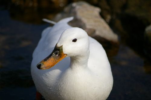 mallard white albino